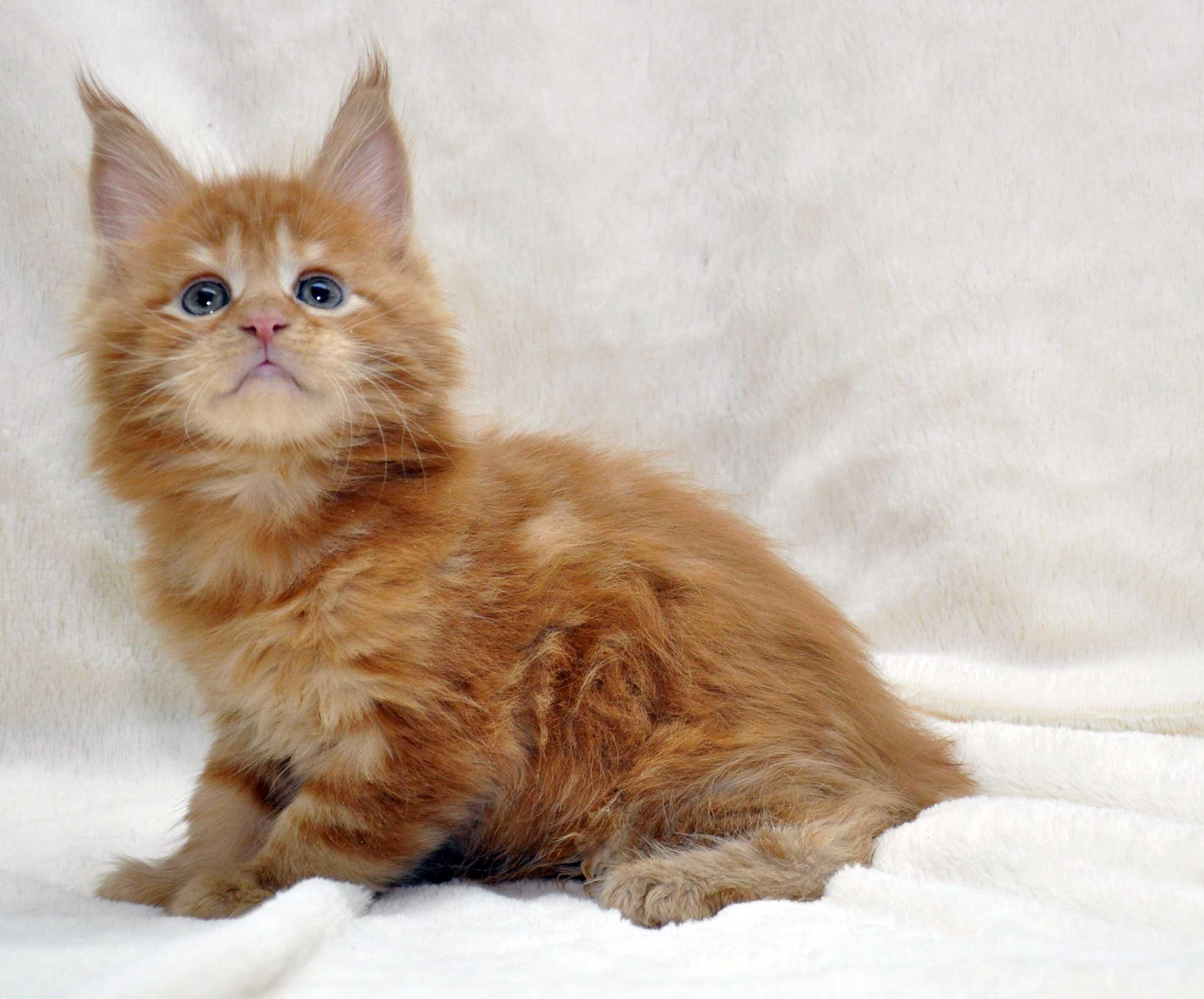 Котик-мейн-кун-1-litter-K-фото-1