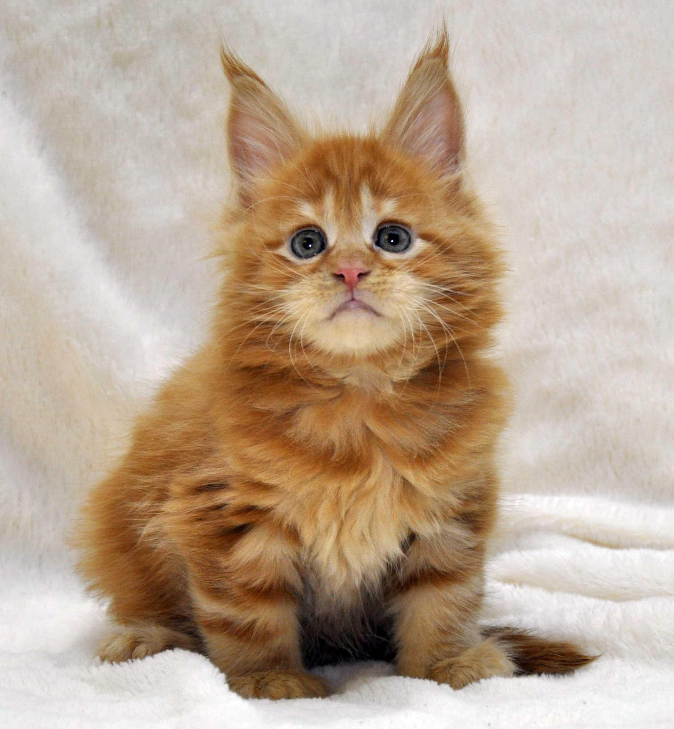 Котик-мейн-кун-1-litter-K-фото-2