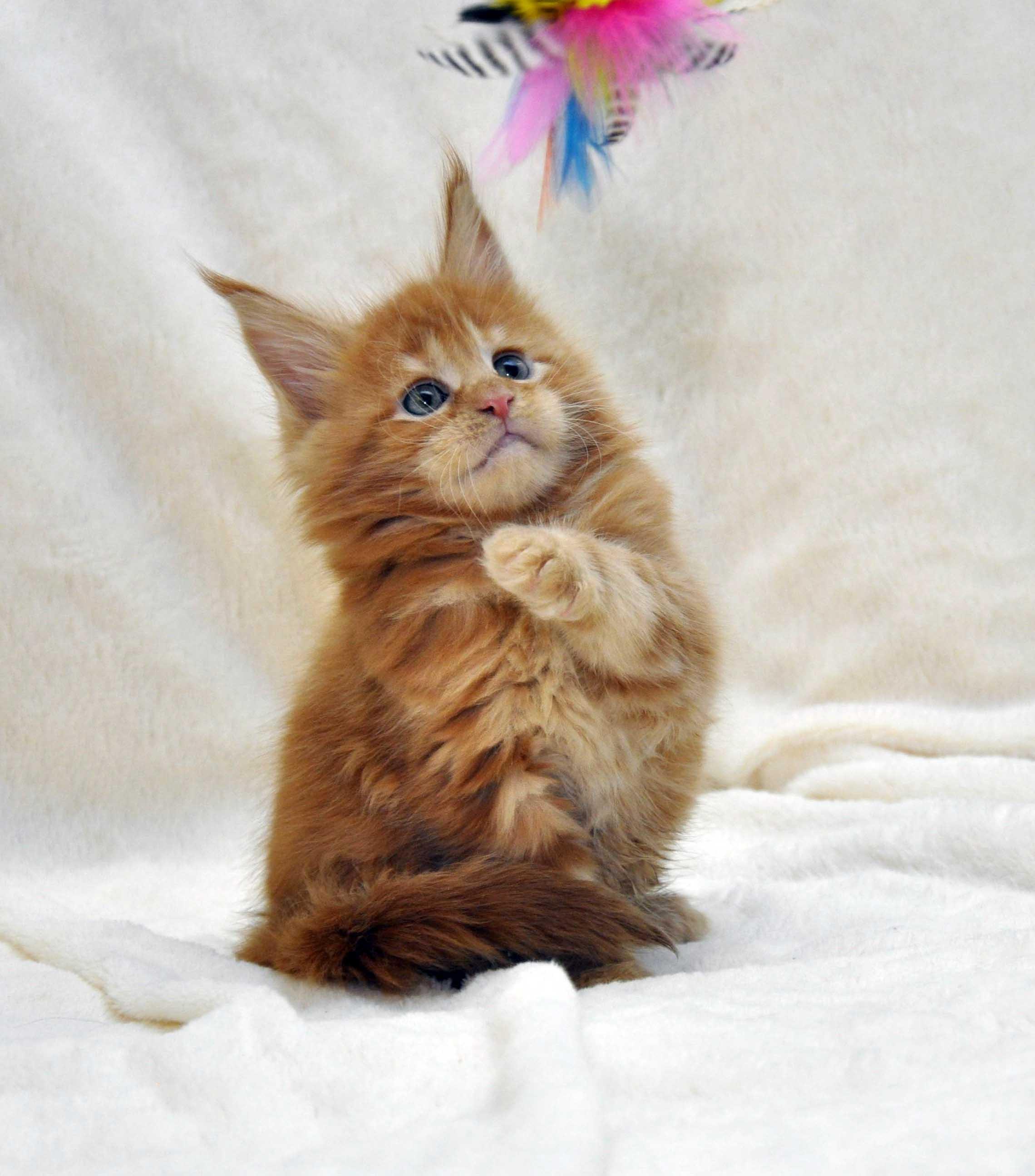 Котик-мейн-кун-1-litter-K-фото-3