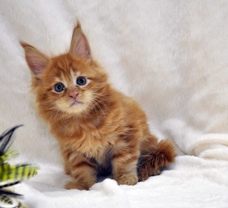 Котик-мейн-кун-1-litter-K-фото-4