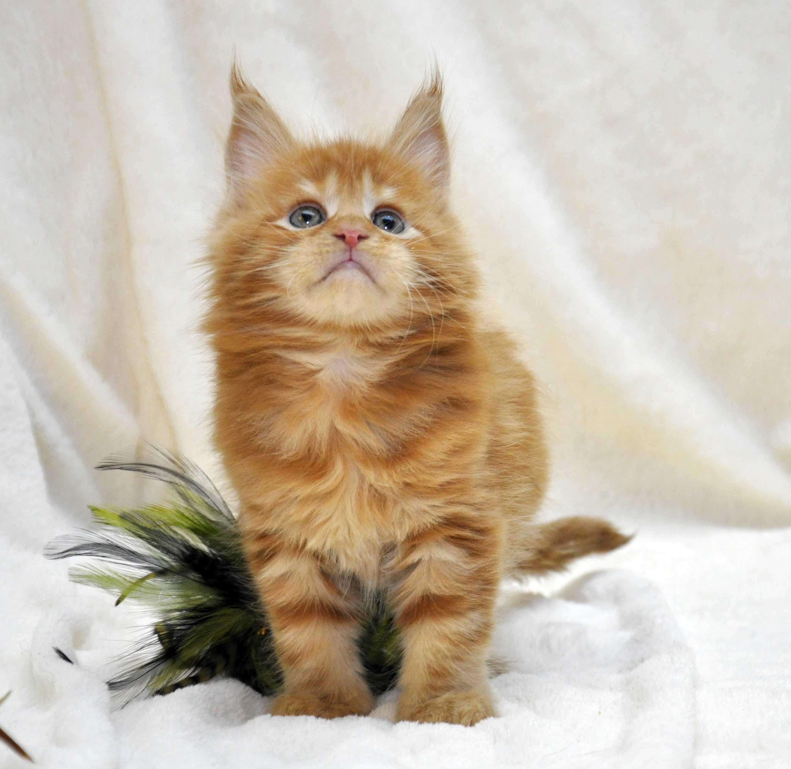 Котик-мейн-кун-1-litter-K-фото-5