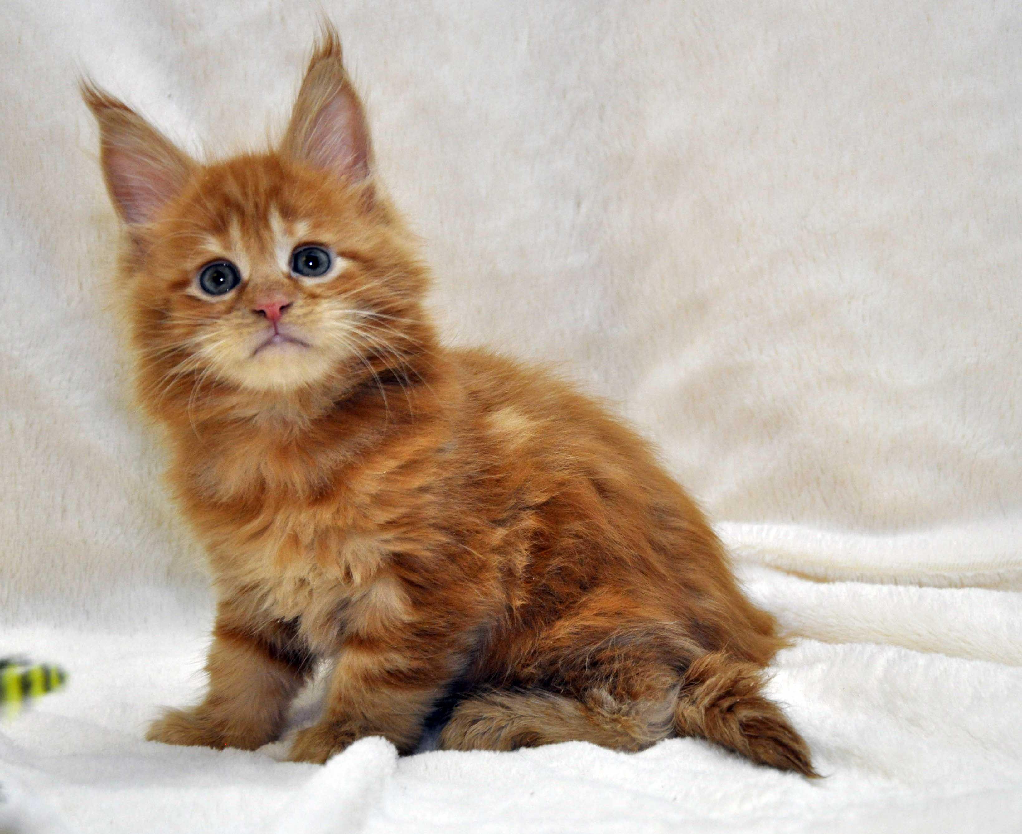 Котик-мейн-кун-1-litter-K-фото-6