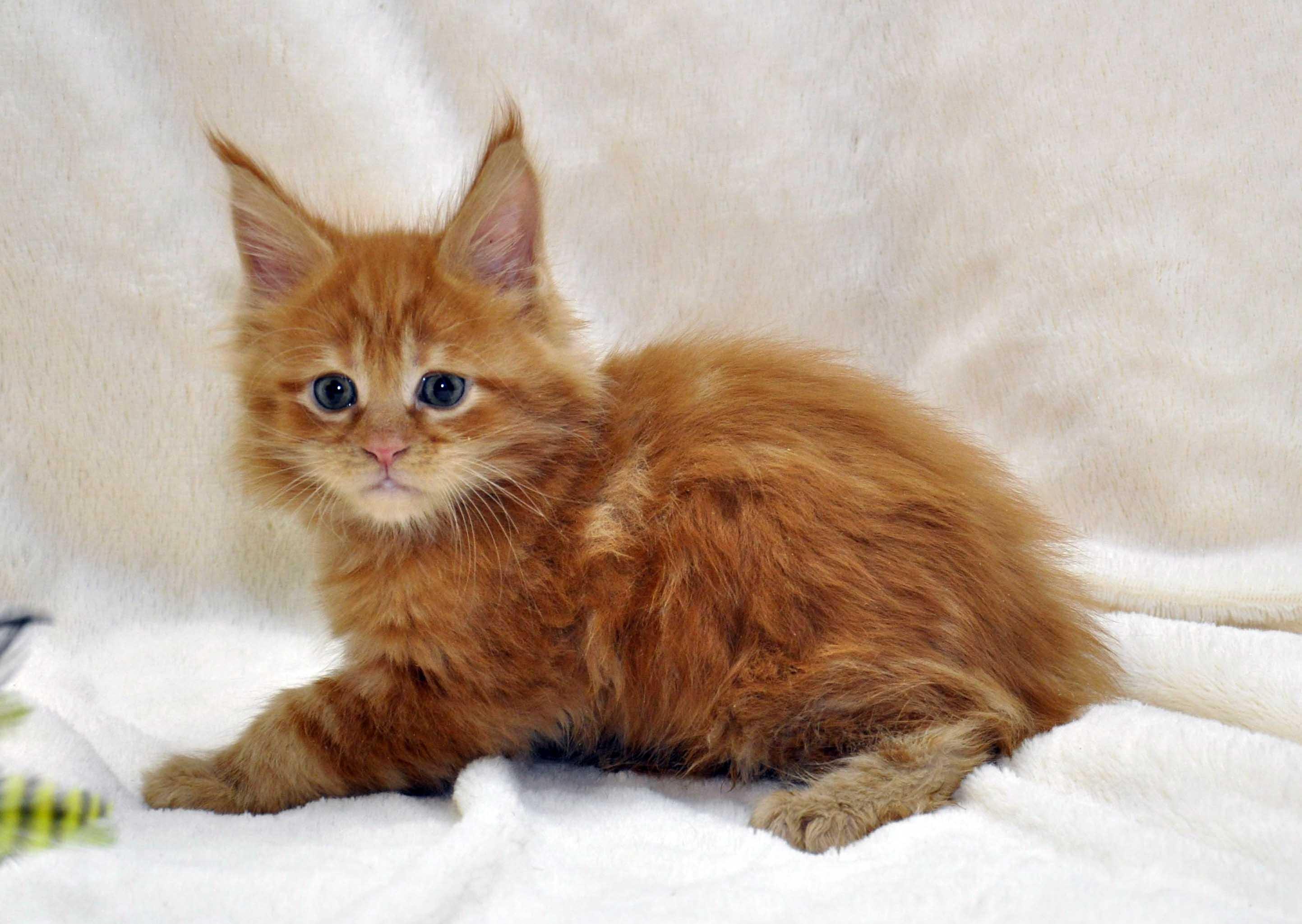 Котик-мейн-кун-1-litter-K-фото-7