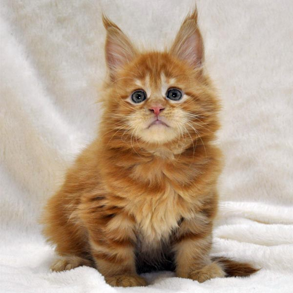 Котик-мейн-кун-1-litter-K-фото