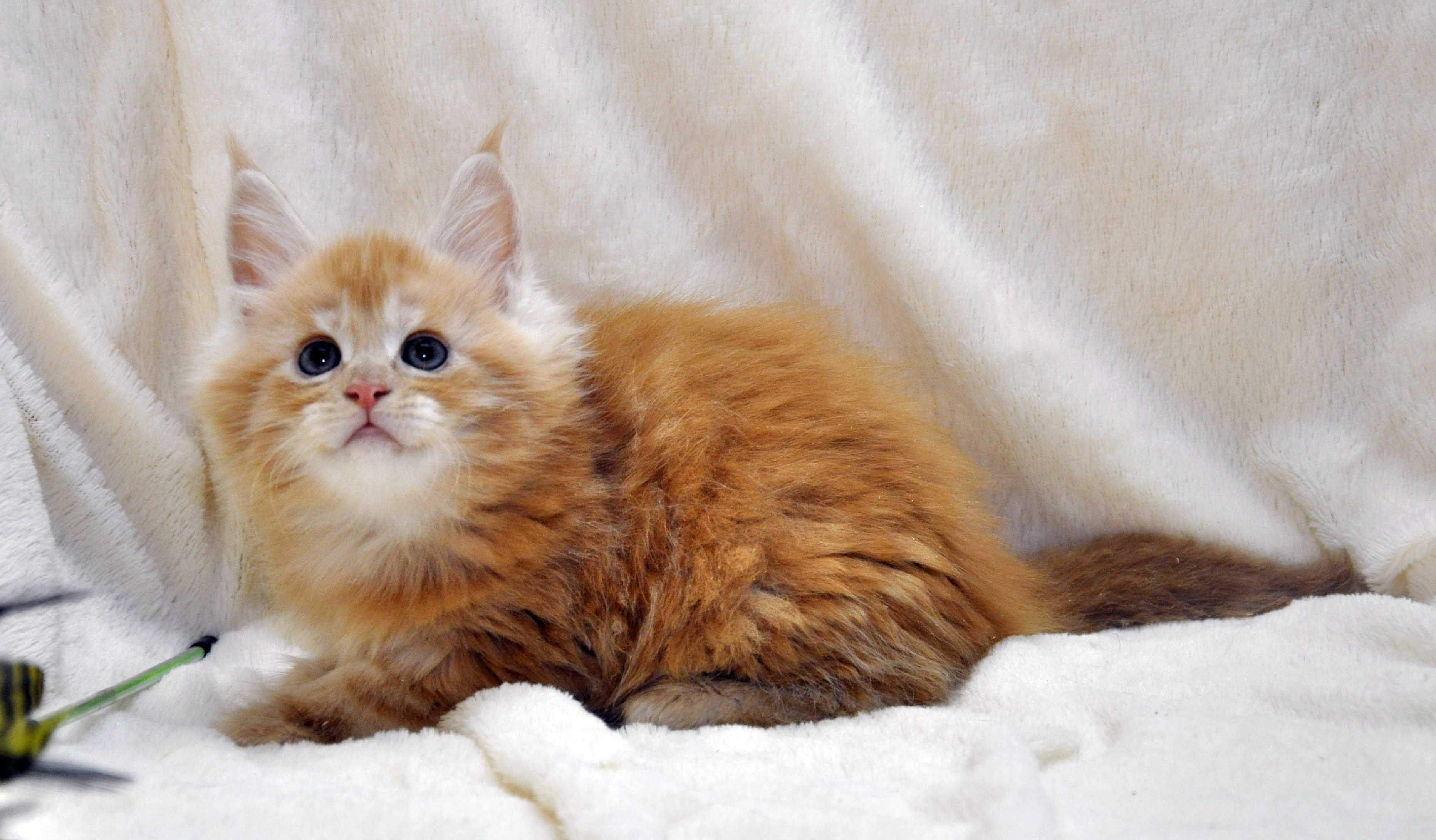 Котик-мейн-кун-2-litter-K-фото-1