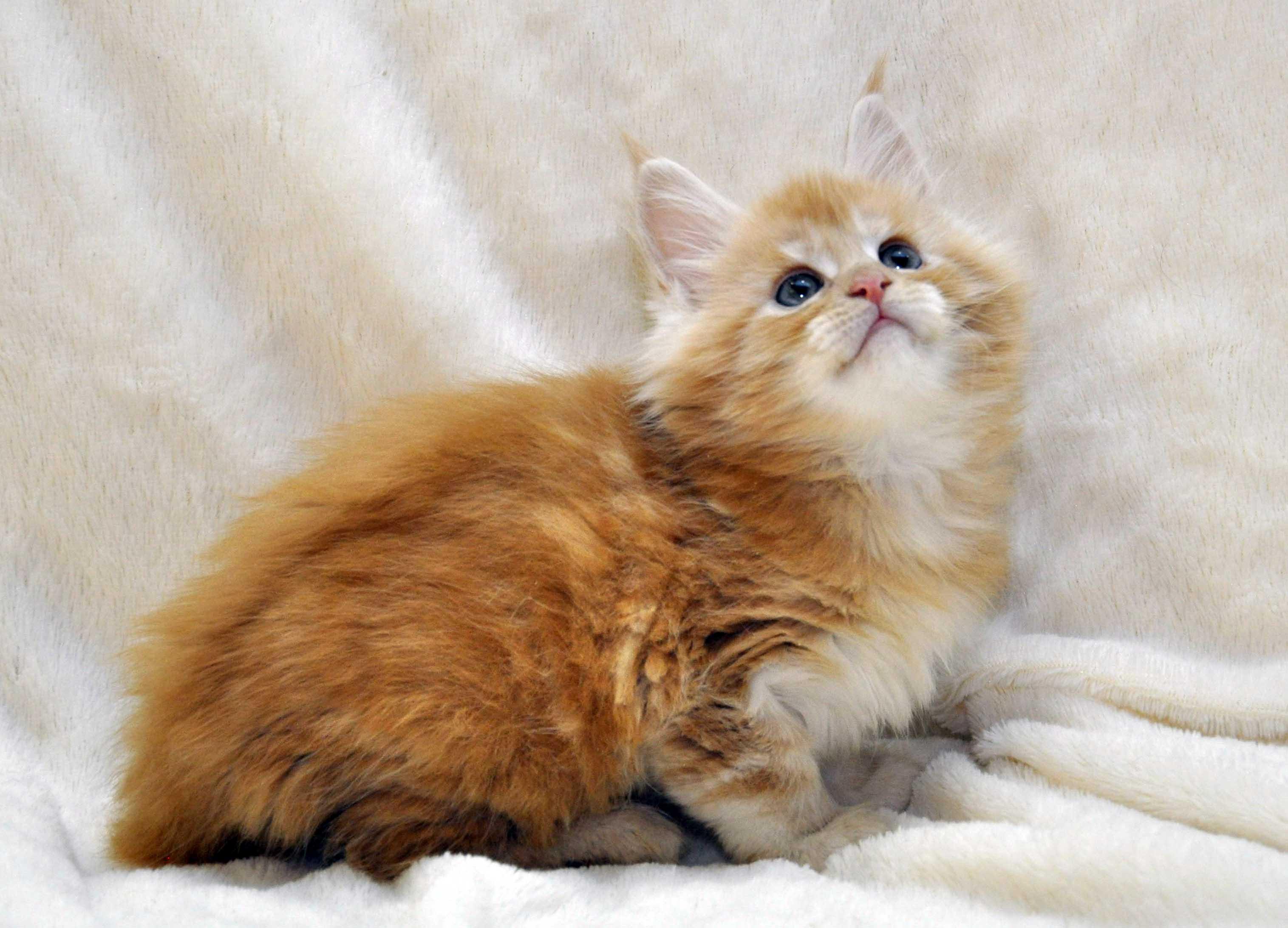 Котик-мейн-кун-2-litter-K-фото-2