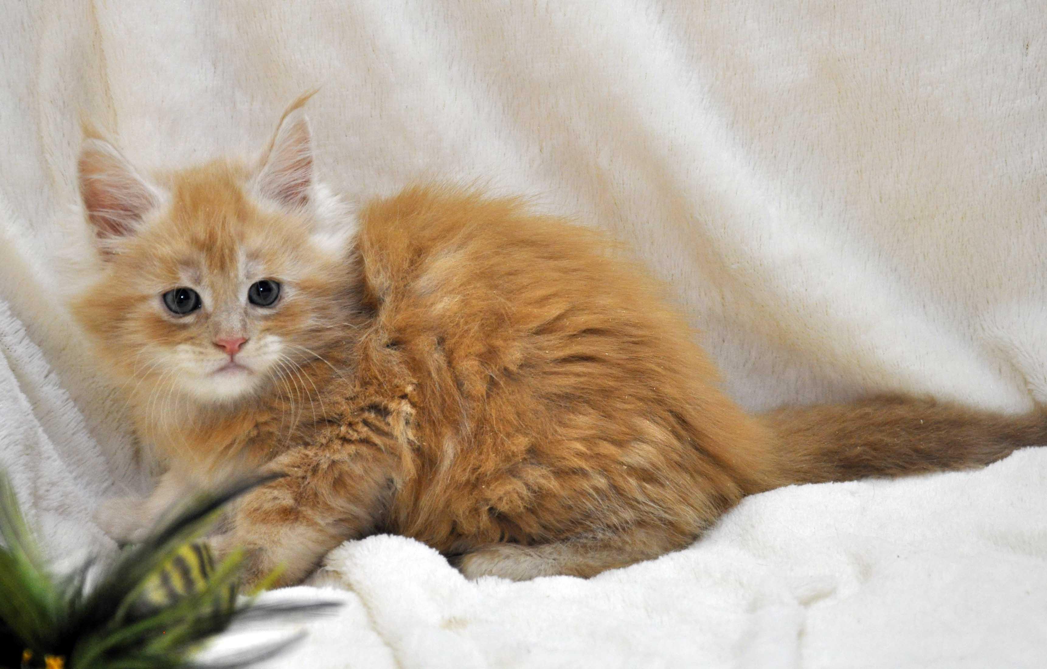 Котик-мейн-кун-2-litter-K-фото-3