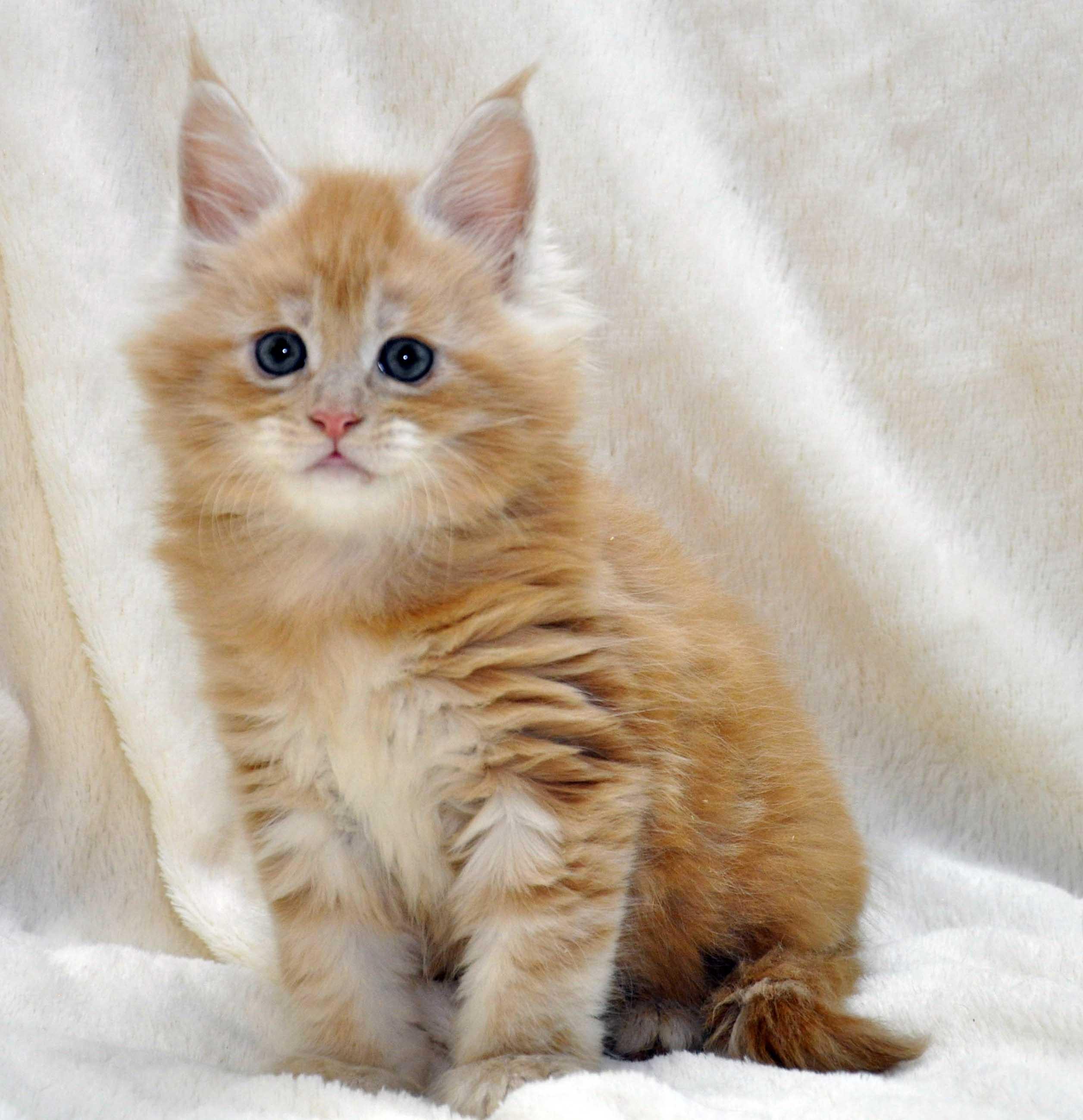 Котик-мейн-кун-2-litter-K-фото-4