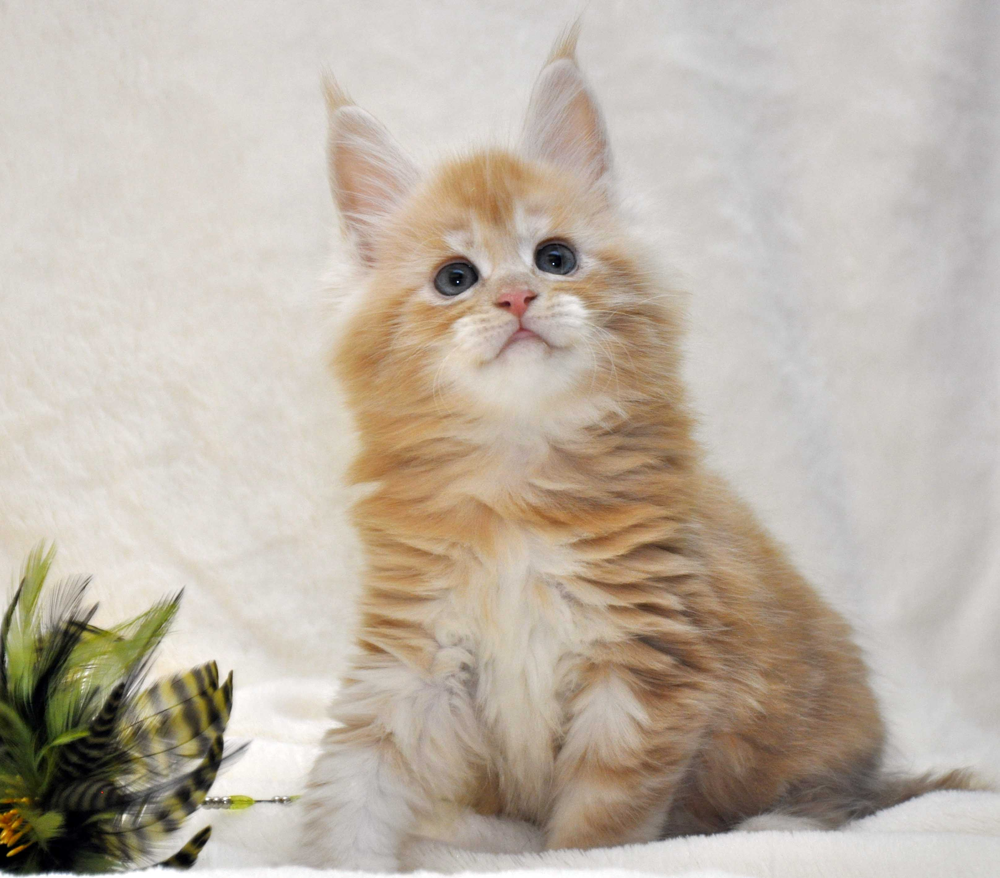 Котик-мейн-кун-2-litter-K-фото-5