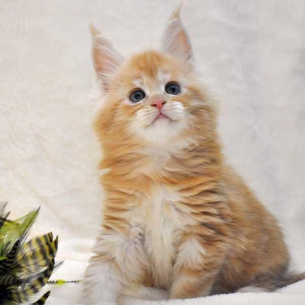 Котик-мейн-кун-2-litter-K-фото