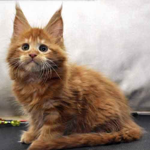 Котик мейн-кун 1 litter K фото