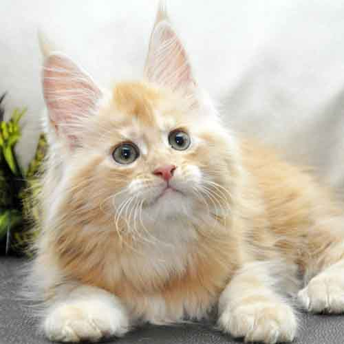 Котик мейн-кун 2 litter K фото