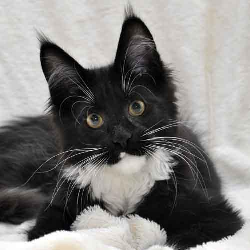 Котёнок мейн-кун биколор помёт I фото