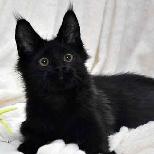 Кот мейн кун 3 помёт I возраст 4 месяца фото