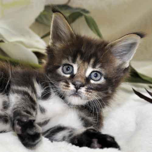 Котик Мейн-Кун фото возраст 6 недель