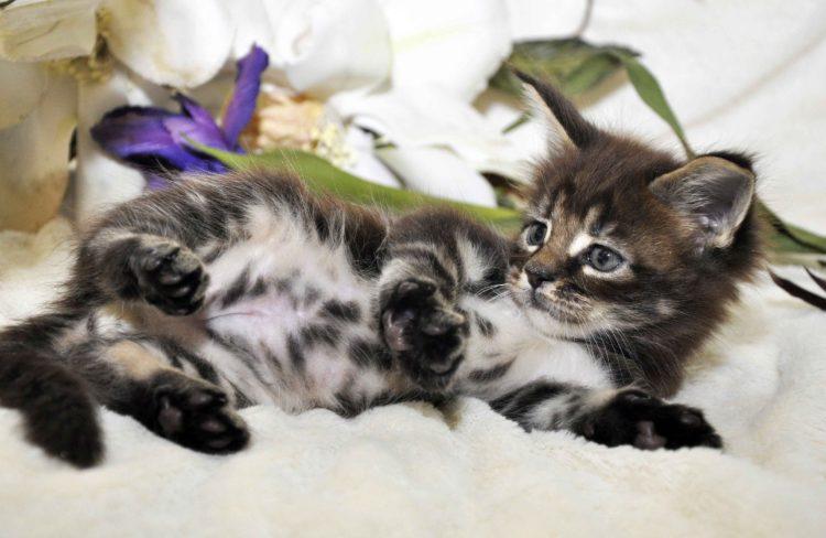 Котик 1 Maine Coon litter «J» купить котенка дата рождения 12.03.2017 г.
