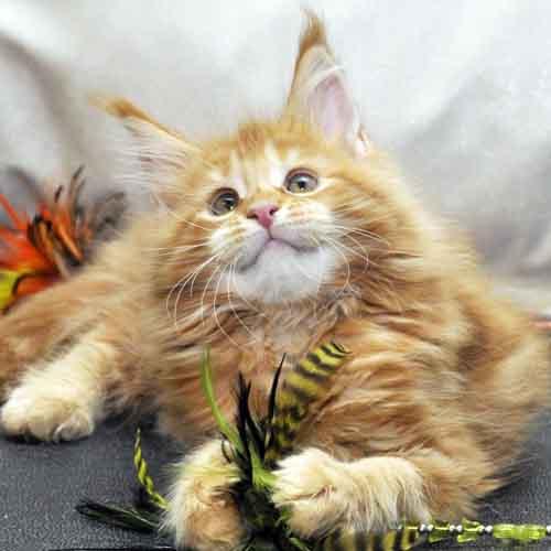 Кошка Мейн-Кун 1 помёт К фото