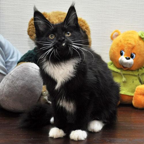 Кошка мейн кун Eyktan LIKOUT фото