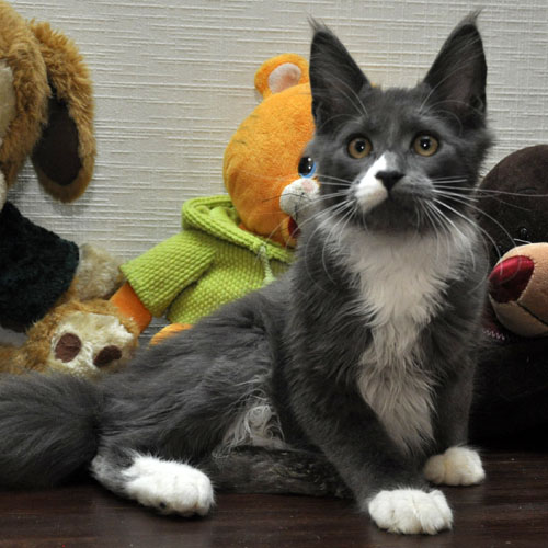 Кошка мейн кун Eyktan LUNITA фото