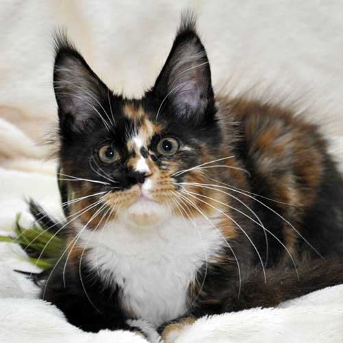 "Кошка 1 Мейн Кун фото помёт ""I"""
