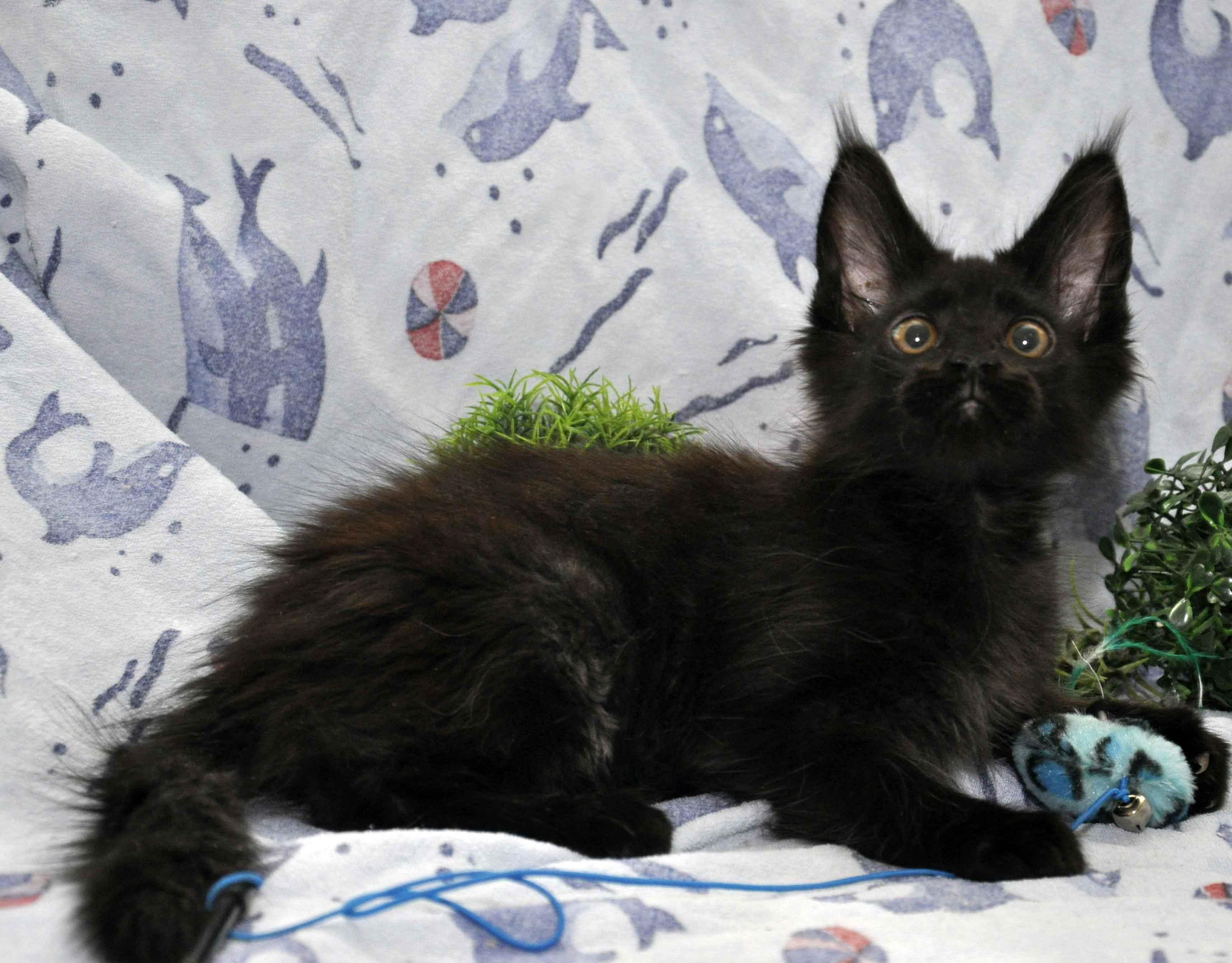 котик мейн-кун чёрного окраса фото 2
