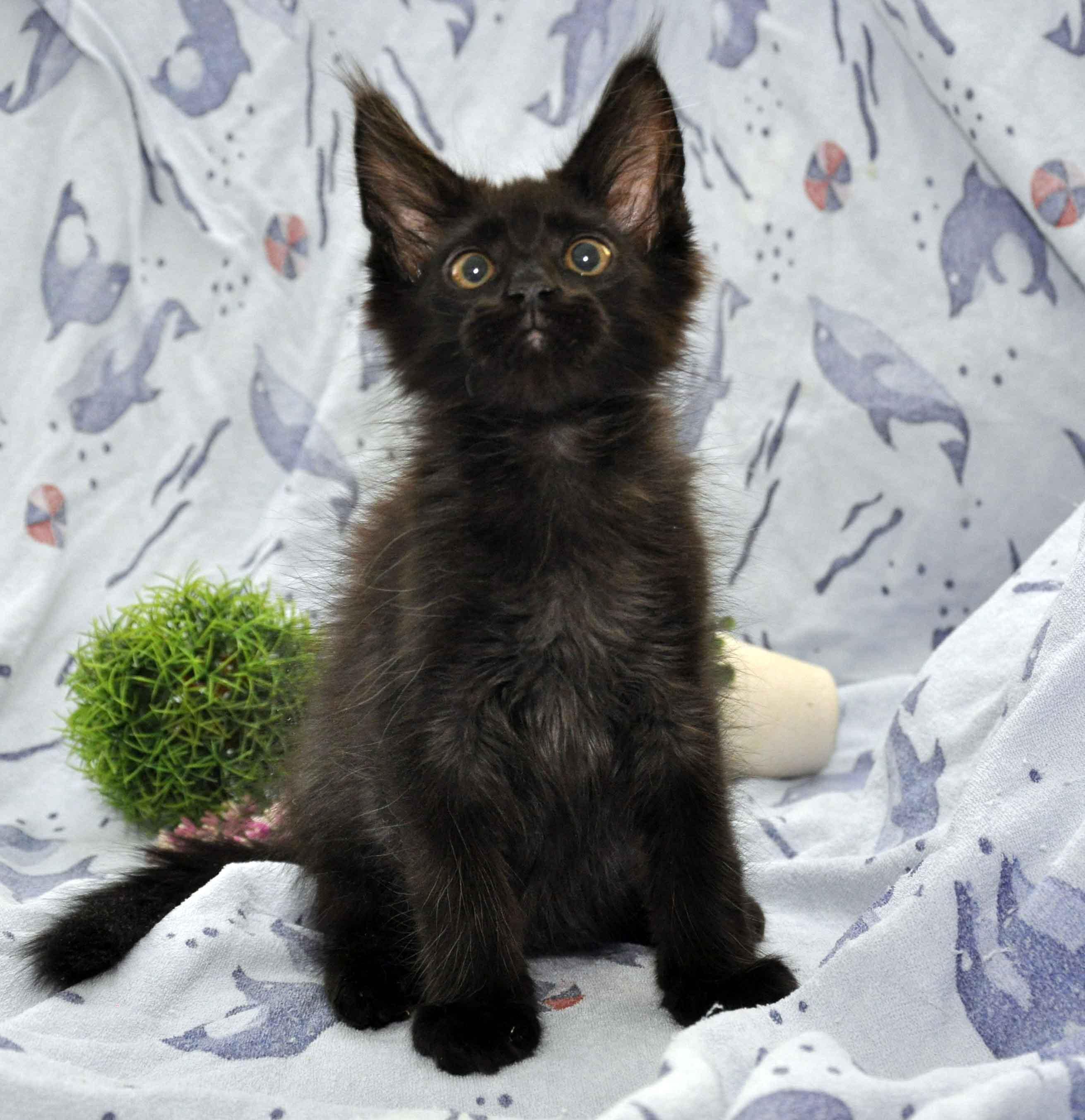 котик мейн-кун чёрного окраса фото 4