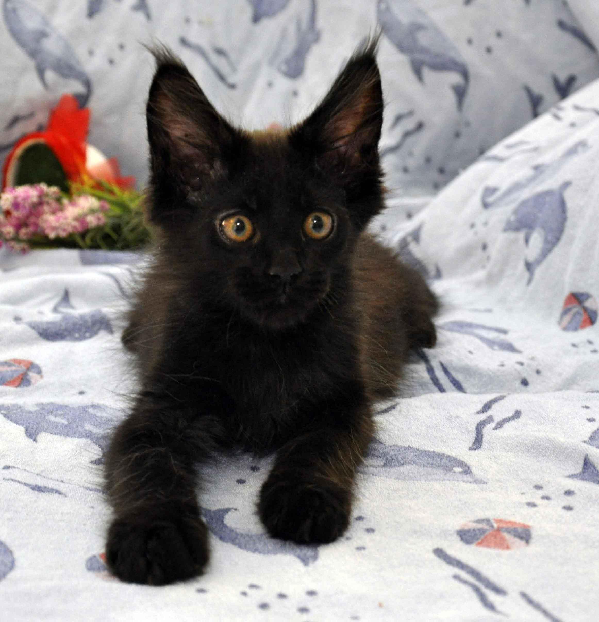 котик мейн-кун чёрного окраса фото 5