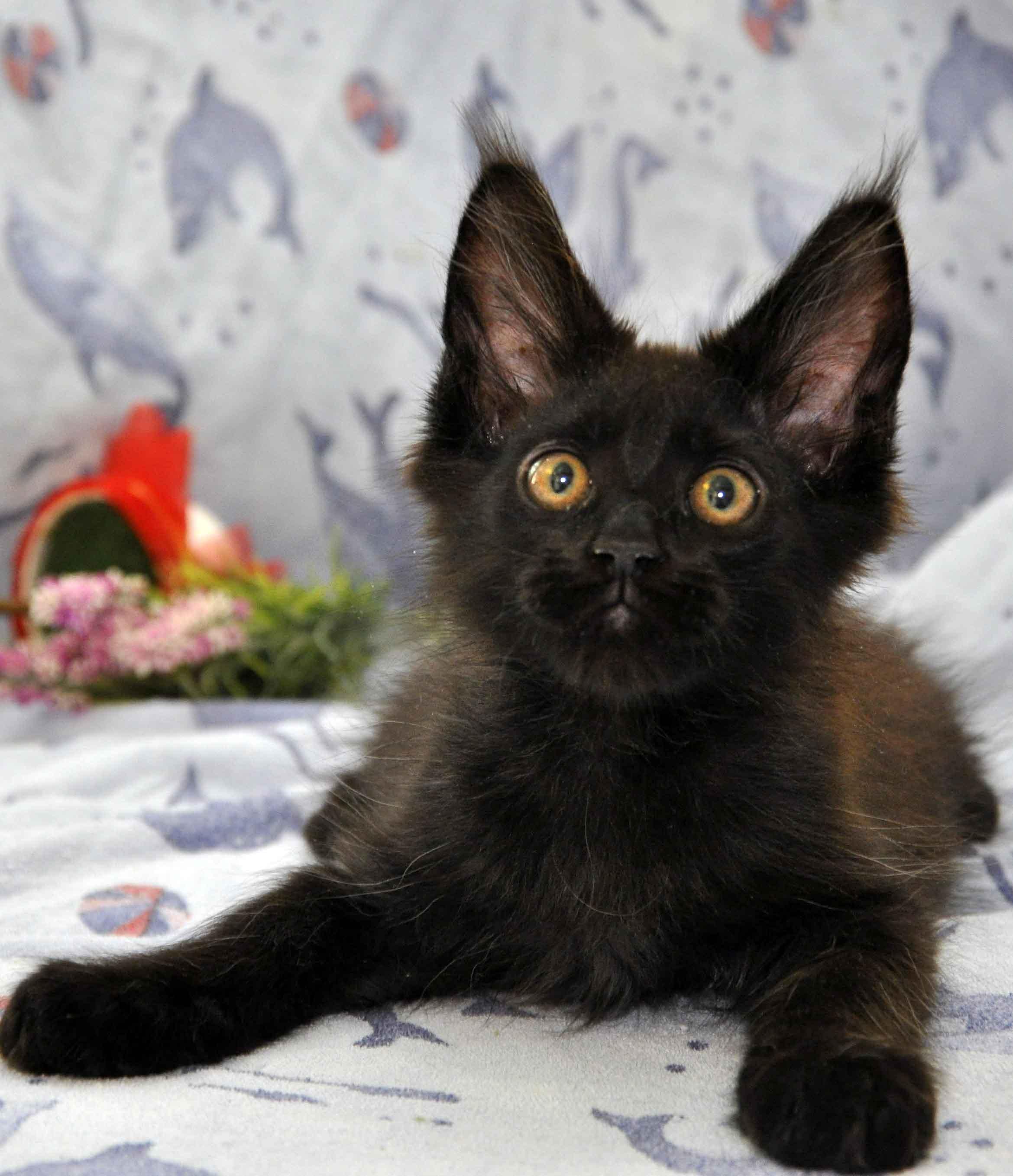 котик мейн-кун чёрного окраса фото 3
