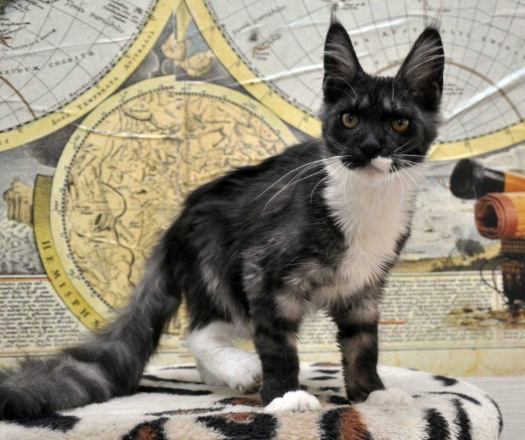 Кошка мейн-кун биколор возраст 5 месяцев фото