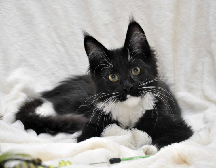 Котёнок мейн-кун биколор помёт I фото 1