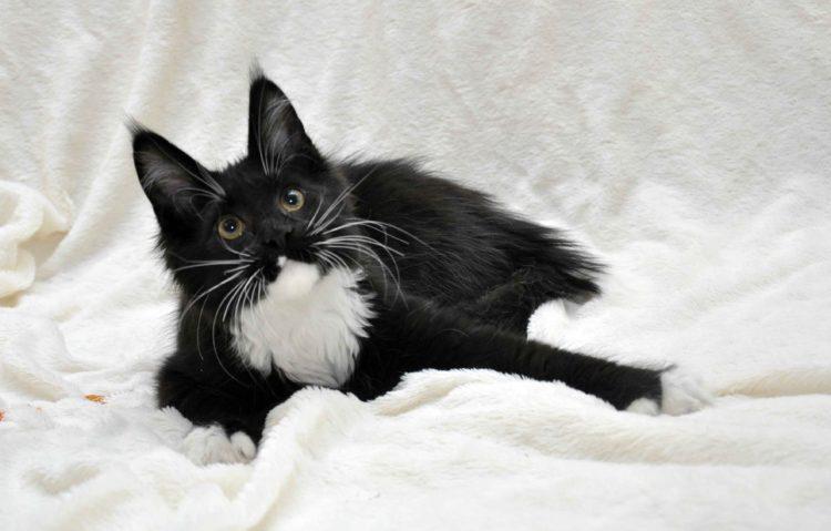 Котёнок мейн-кун биколор помёт I фото 10