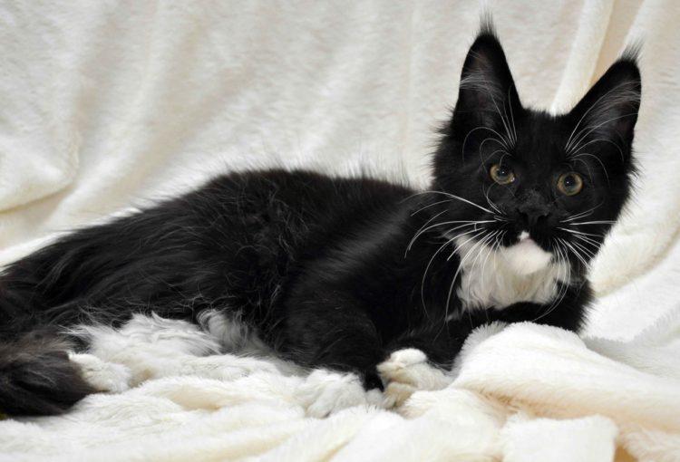 Котёнок мейн-кун биколор помёт I фото 12