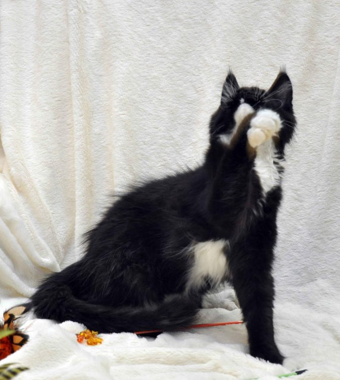 Котёнок мейн-кун биколор помёт I фото 14