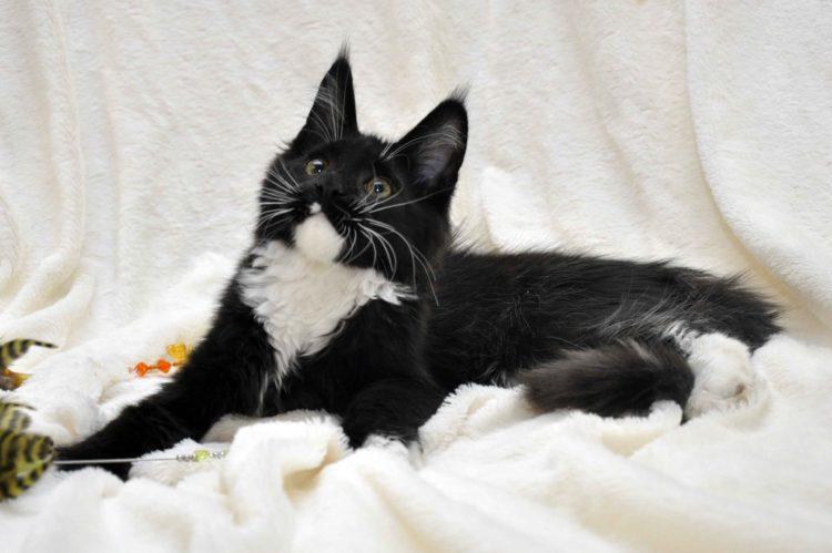 Котёнок мейн-кун биколор помёт I фото 2