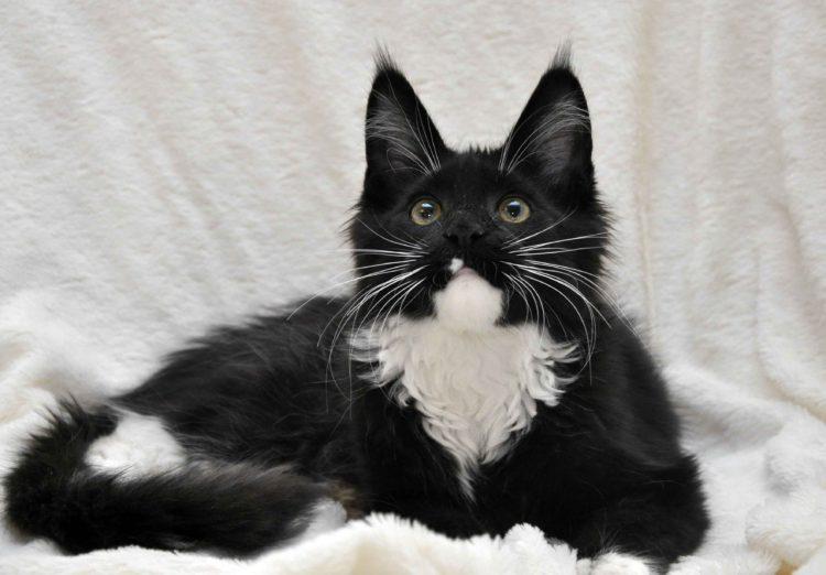 Котёнок мейн-кун биколор помёт I фото 3