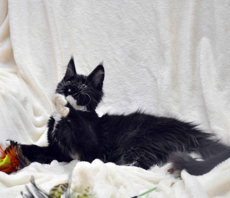 Котёнок мейн-кун биколор помёт I фото 4