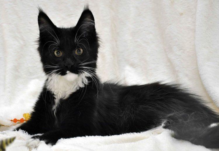 Котёнок мейн-кун биколор помёт I фото 5