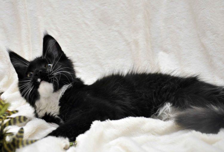 Котёнок мейн-кун биколор помёт I фото 6