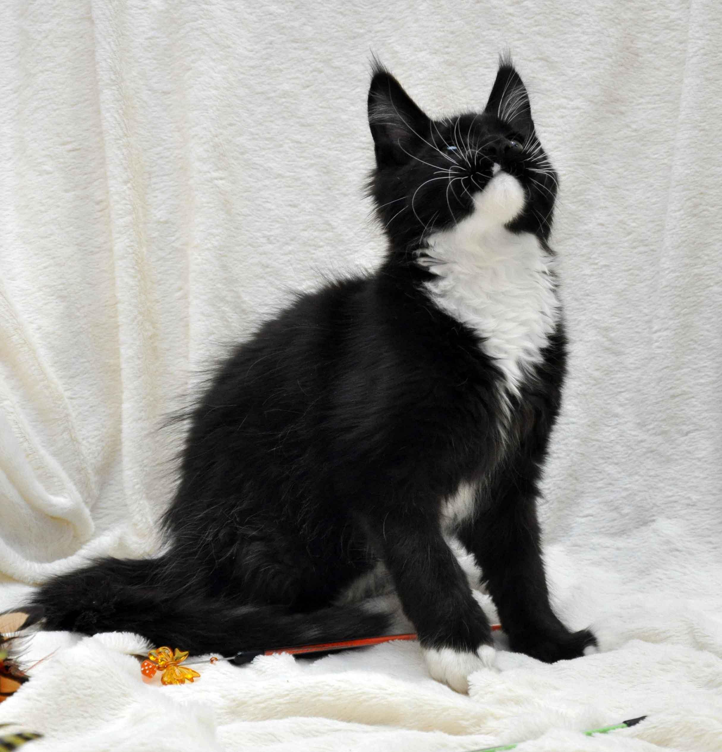 Котёнок мейн-кун биколор помёт I фото 7