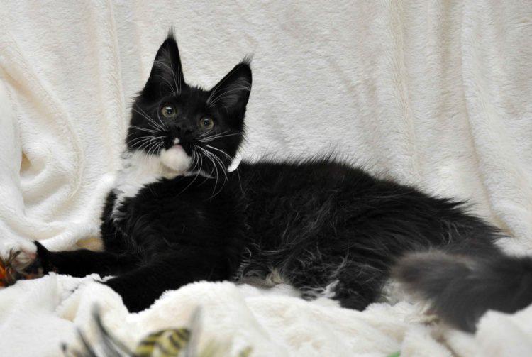 Котёнок мейн-кун биколор помёт I фото 8