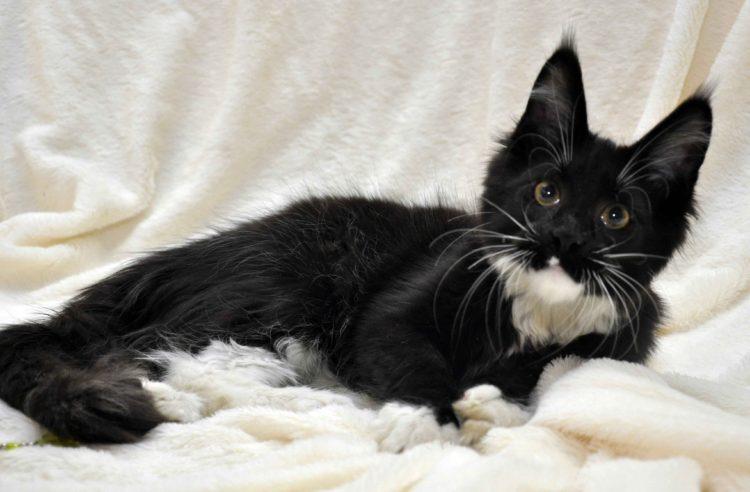 Котёнок мейн-кун биколор помёт I фото 9