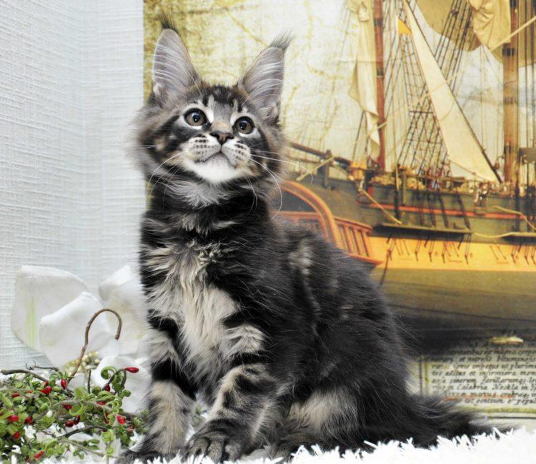 Кот Мейн Кун, помёт «J» возраст 3 месяца фото 1_1 котик 1