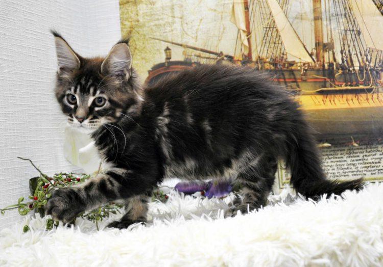 Кот Мейн Кун, помёт «J» возраст 3 месяца фото 1_2 котик 1