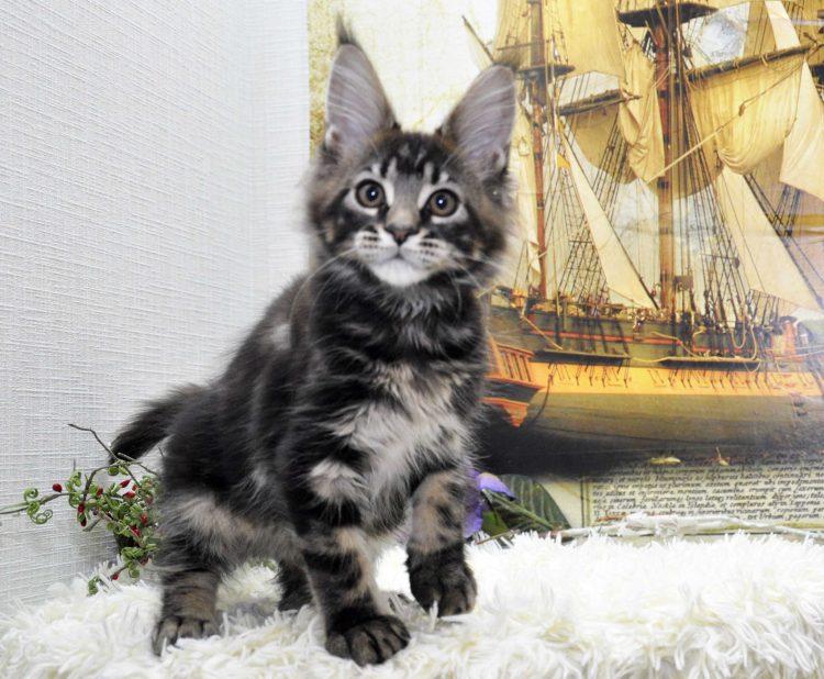 Кот Мейн Кун, помёт «J» возраст 3 месяца фото 1_4 котик 1