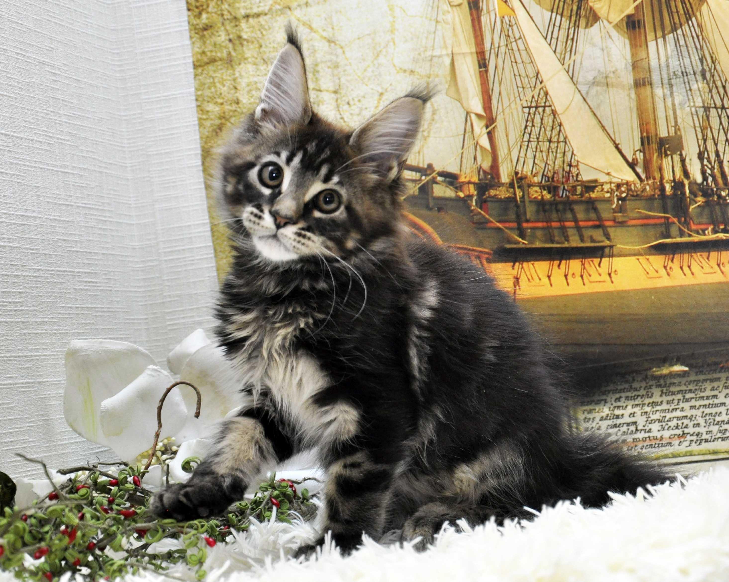 фото котят мейн кунов в 1 месяц #10