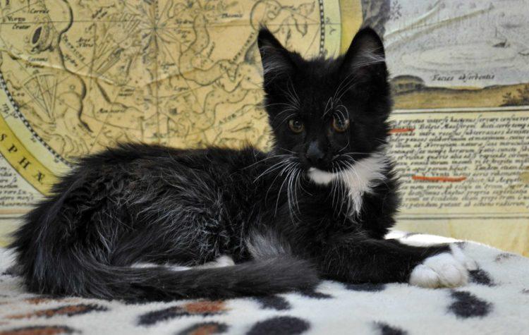 кот мейн-кун биколор возраст 3,5 месяца фото