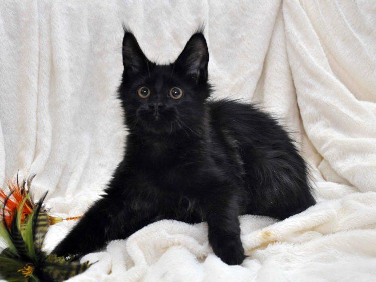 Кот мейн кун кличка IMPERATOR возраст 5 месяцев фото1