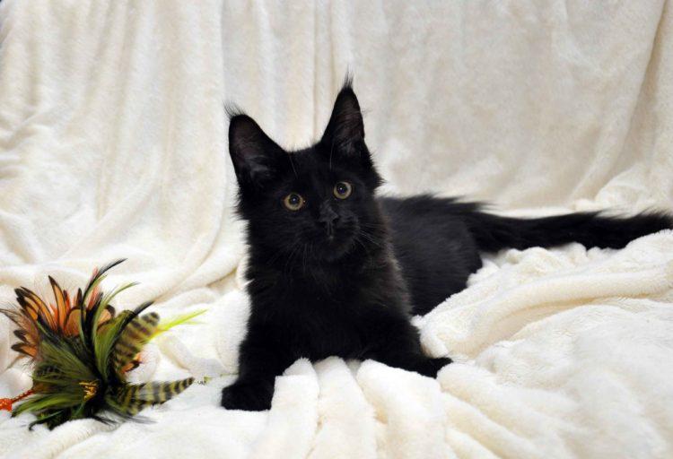 Кот мейн кун кличка IMPERATOR возраст 5 месяцев фото10