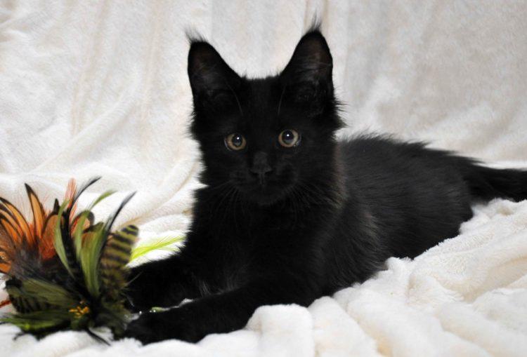 Кот мейн кун кличка IMPERATOR возраст 5 месяцев фото11