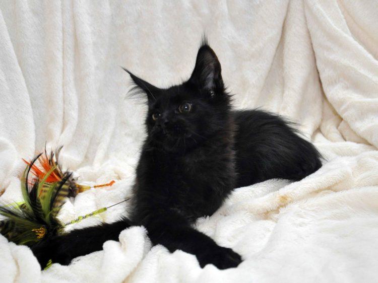 Кот мейн кун кличка IMPERATOR возраст 5 месяцев фото2